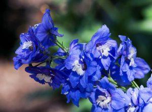 Blauwe vaste planten