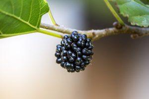 Vruchten moerbei