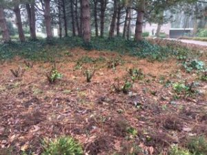 Rhododendron terugsnoeien