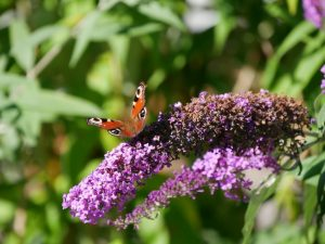 Meerkleurige vlinderstruik