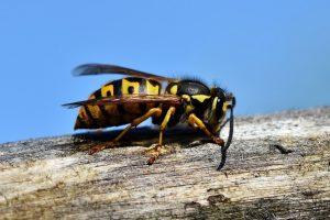 Wespen lokken