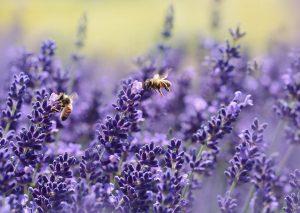 Tweede bloei lavendel