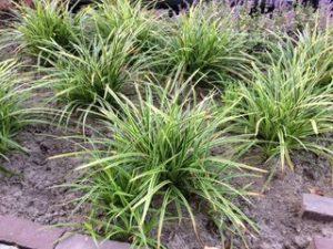 Carex snoeien