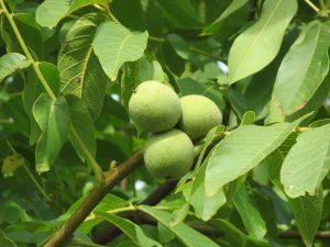 Soorten notenbomen