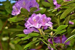 Rhododendron verplanten
