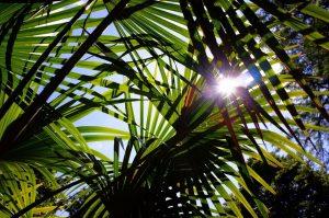 Palmboom beschermen tegen vorst