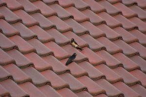 Vogels onder dakpannen voorkomen