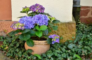 Langbloeiende hortensia