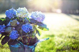 Hortensia bloeit niet