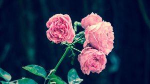Spint bestrijden op rozen