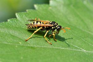 Wespenpoeder verboden