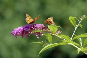 Kan een vlinderstruik in de schaduw