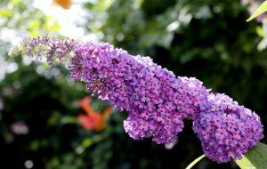 Uitgebloeide bloemen vinderstruik verwijderen