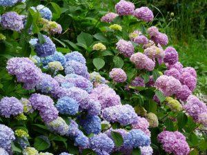 Hoeveel hortensia's per vierkante meter