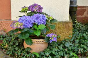 Welke hortensia in pot