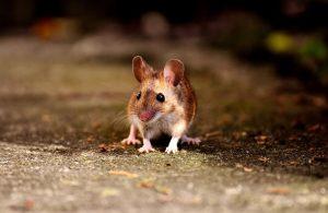 Muizen levend vangen