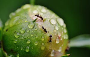 Mieren bestrijden in moestuin